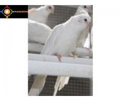Calopsittes albinos