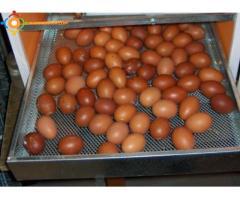 Projet élevage de poulet