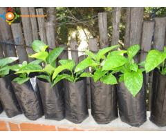 Plants de fruits de la passion (grenadille ) bio :Larache