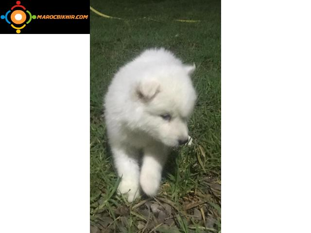husky chiot blanc pure