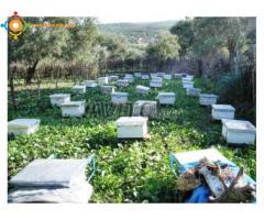 خلايا النحل الصحراوي الممتاز