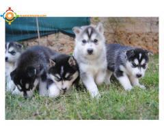5 Chiots Husky Siberien Lof
