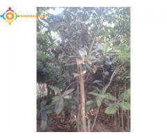arbres de nefles شجرة المزاح